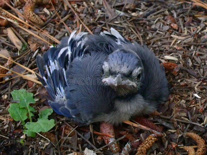 μπλε πουλιών