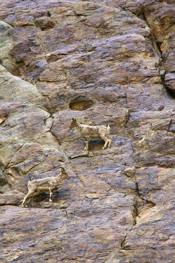 Μπλε πρόβατα Bharal ή Himalayan ή naur, seudois nayaur, χωριό Khardung, Τζαμού και Κασμίρ στοκ εικόνες