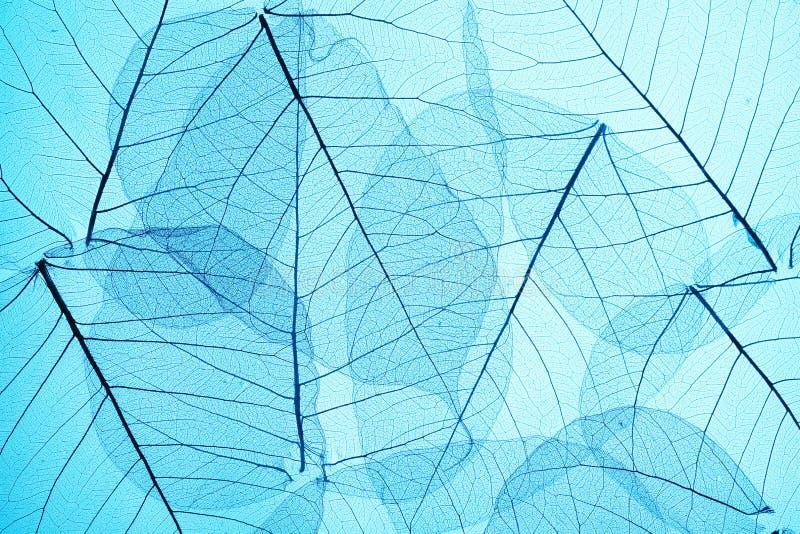 μπλε σκελετός φύλλων στοκ εικόνα με δικαίωμα ελεύθερης χρήσης