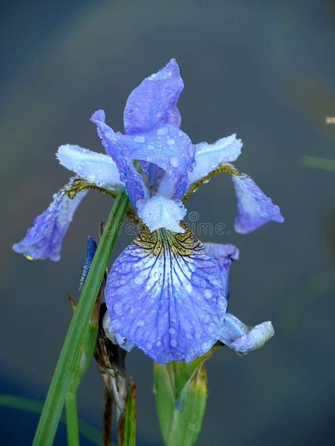 μπλε σκοτεινά πέταλα ίριδ&o στοκ εικόνες