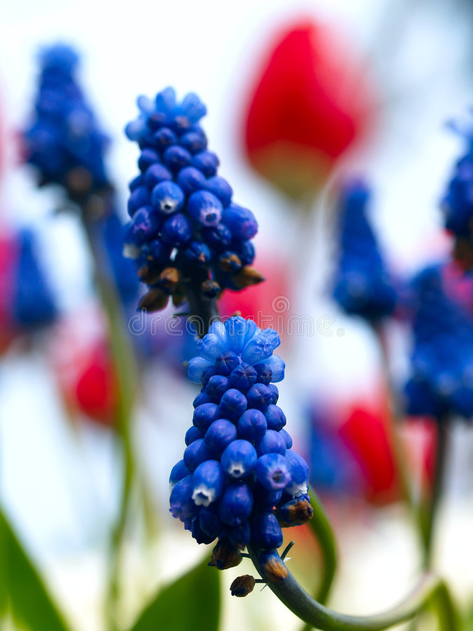 μπλε σταφύλια στοκ φωτογραφία