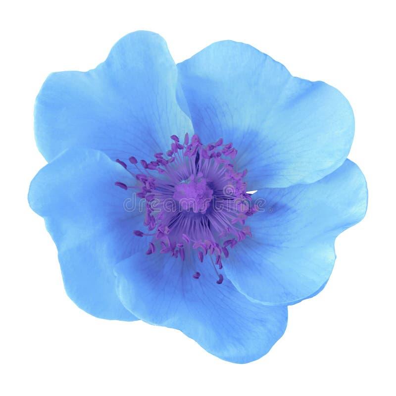 μπλε στενό απομονωμένο λουλούδι λευκό στούντιο φωτογραφίας ανασκόπησης επάνω Κινηματογράφηση σε πρώτο πλάνο Μακροεντολή στοκ εικόνες με δικαίωμα ελεύθερης χρήσης
