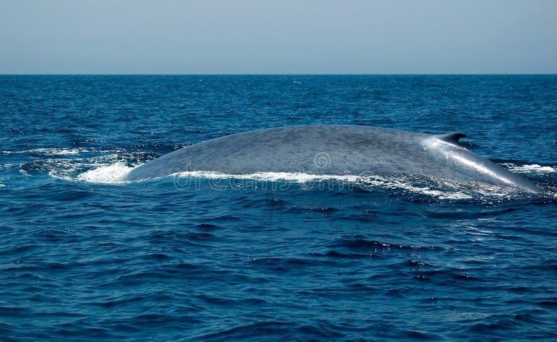 μπλε φάλαινα στοκ φωτογραφίες