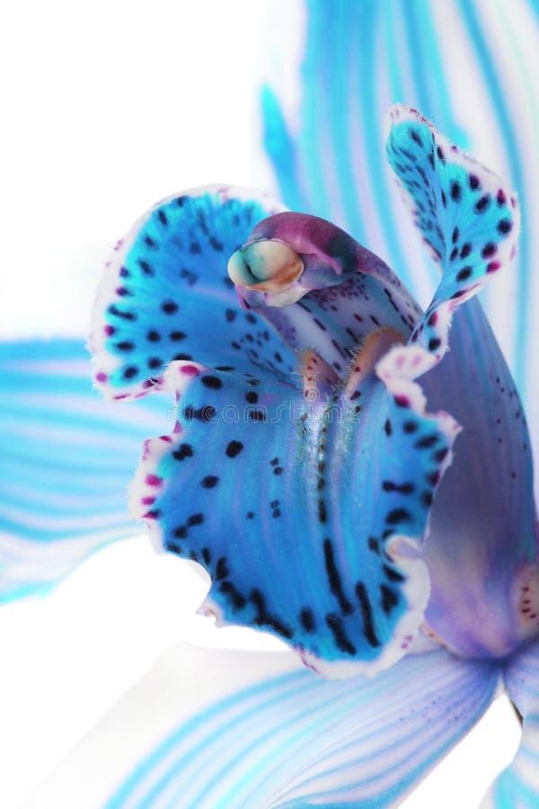 μπλε φωτεινό orchid στοκ φωτογραφία με δικαίωμα ελεύθερης χρήσης