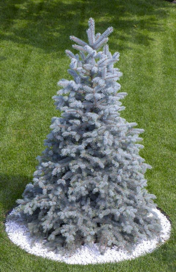 Μπλε χριστουγεννιάτικο δέντρο στον πράσινο χορτοτάπητα κοντά στο εξοχικό σπίτι στοκ φωτογραφίες