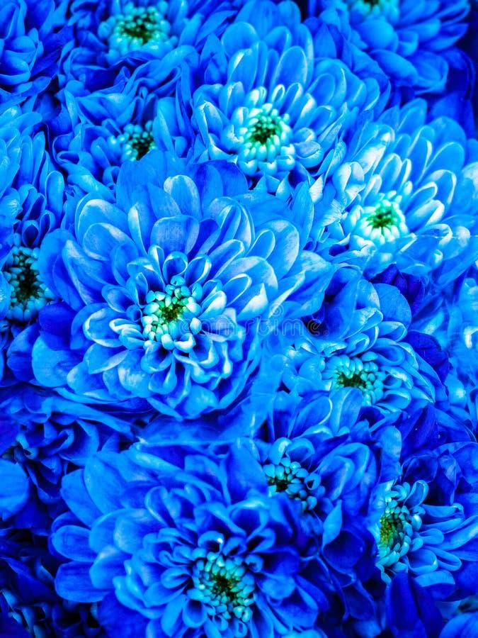 μπλε χρυσάνθεμο στοκ εικόνες
