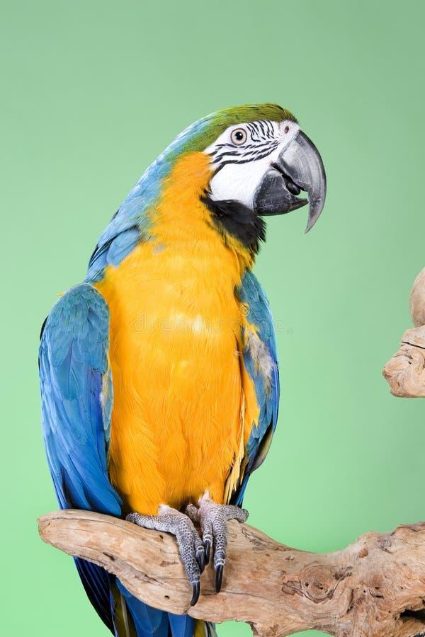 μπλε χρυσός macaw στοκ εικόνα με δικαίωμα ελεύθερης χρήσης