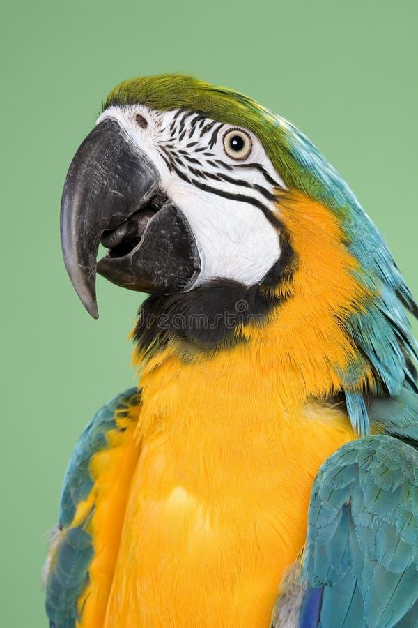 μπλε χρυσός macaw στοκ εικόνες με δικαίωμα ελεύθερης χρήσης