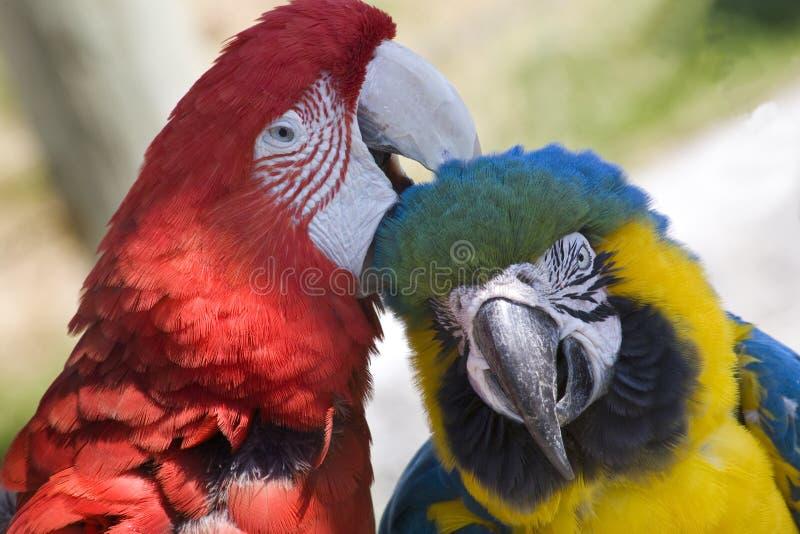 μπλε χρυσό πράσινο φτερό καλλωπισμού macaw στοκ φωτογραφία