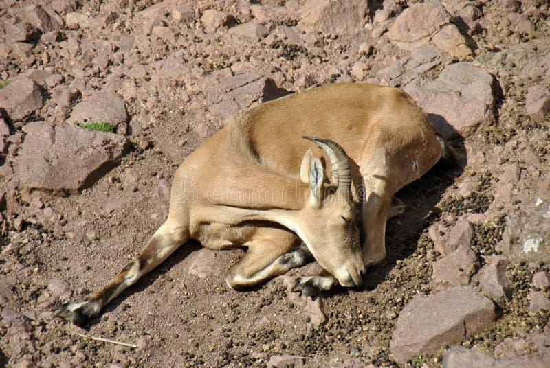 Μπλε ύπνος προβάτων στον ήλιο στοκ φωτογραφίες