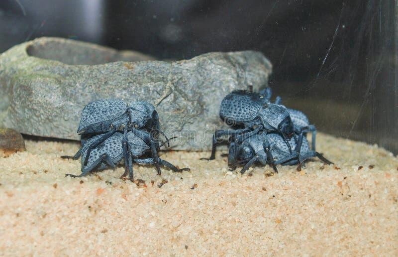 Μπλε Feigning θανάτου κάνθαροι Asbolus Verrucosus στοκ φωτογραφία με δικαίωμα ελεύθερης χρήσης