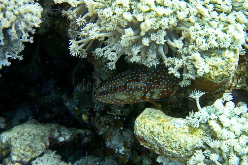 Μπλε Grouper σημείων Κοραλλιογενής ύφαλος στοκ εικόνα