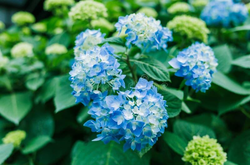 Μπλε hydrangeas στην άνθιση μισού στοκ φωτογραφίες με δικαίωμα ελεύθερης χρήσης