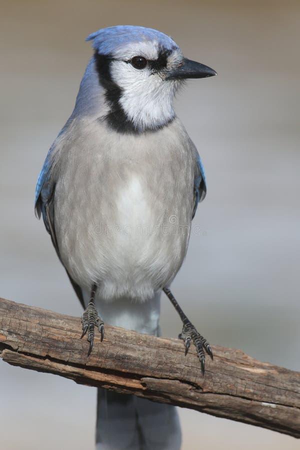 Μπλε jay cristata Cyanocitta στοκ φωτογραφίες με δικαίωμα ελεύθερης χρήσης