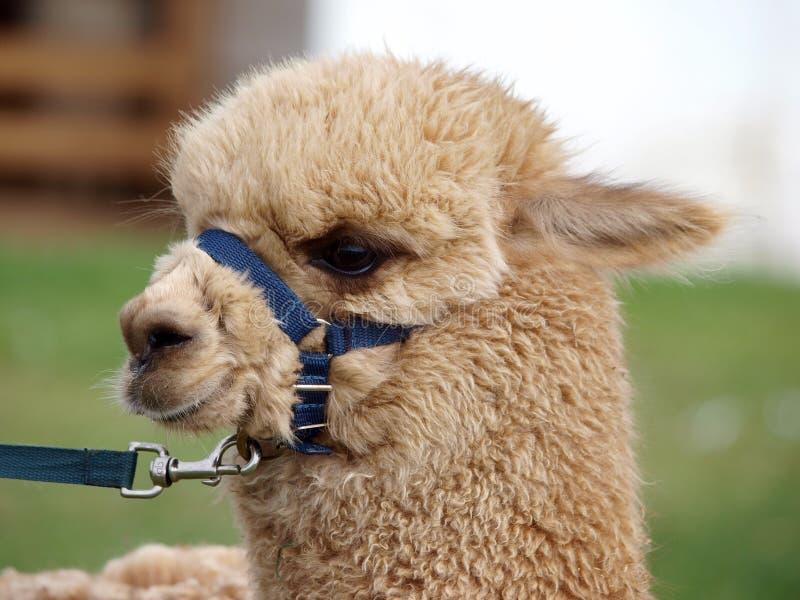 μπλε llama halter στοκ εικόνα