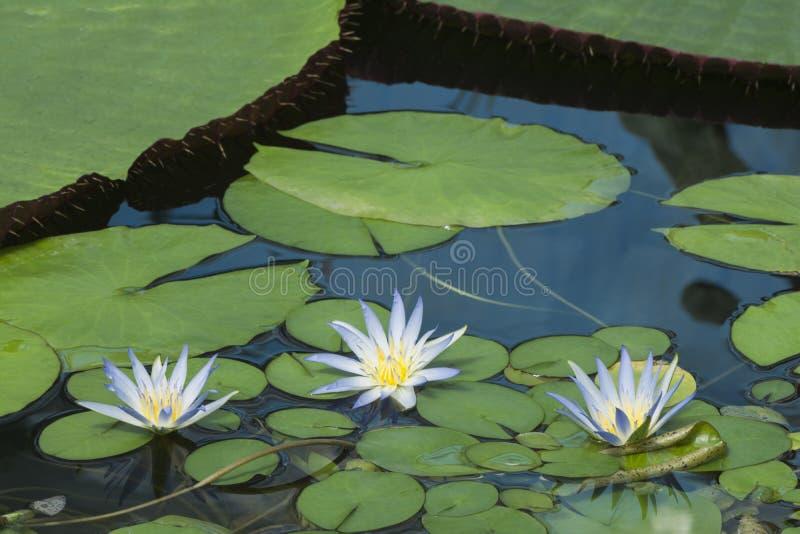 Μπλε Lotus τρία της Αιγύπτου, Nymphaea Caerulea Waterlilies στοκ φωτογραφία