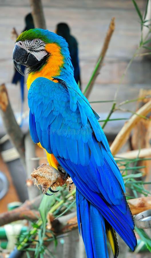 μπλε macaw στοκ εικόνα