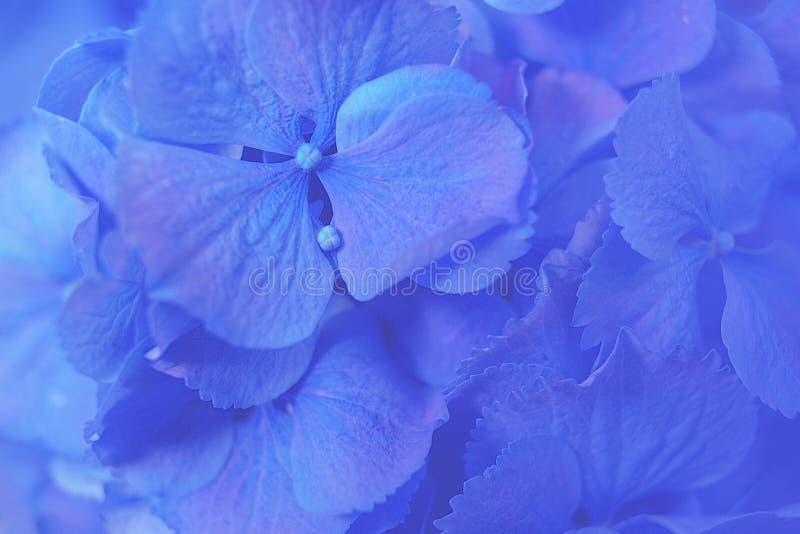 Μπλε macrophylla Hydrangea Hydrangea ή λουλούδι Hortensia με τη δροσιά νερού στα πέταλα Υπόβαθρο λουλουδιών στοκ φωτογραφία με δικαίωμα ελεύθερης χρήσης