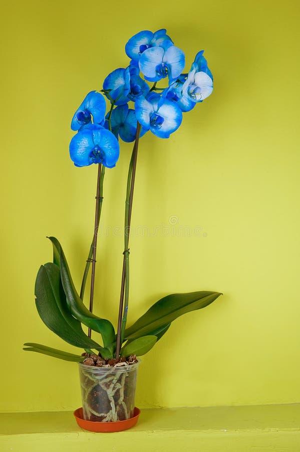 Μπλε orchid λουλούδι στοκ φωτογραφία με δικαίωμα ελεύθερης χρήσης
