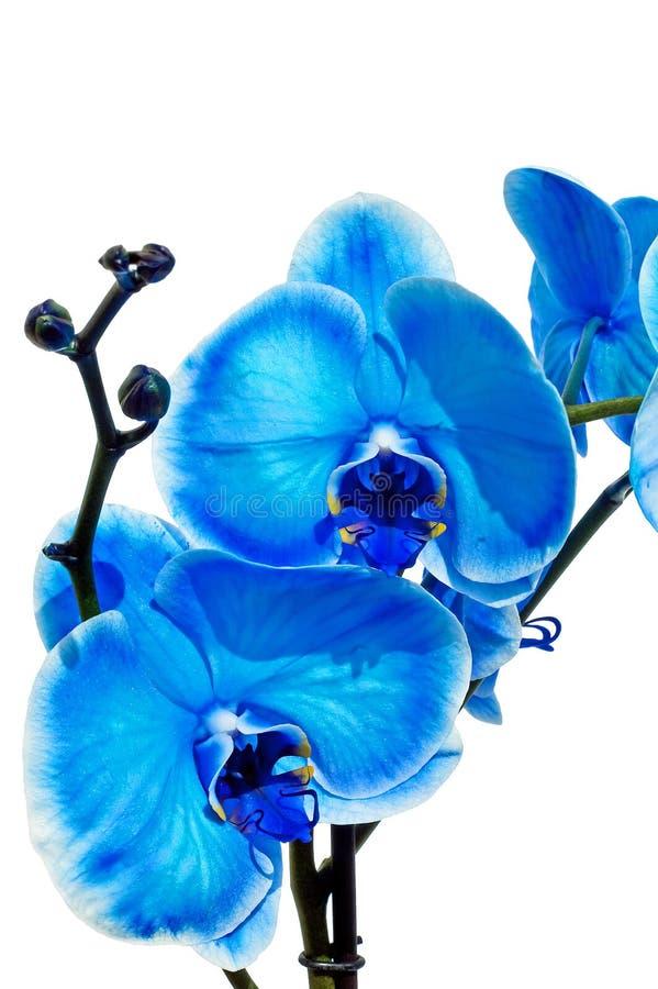 μπλε orchid στοκ φωτογραφίες με δικαίωμα ελεύθερης χρήσης
