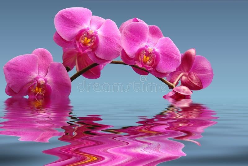 μπλε orchids στοκ φωτογραφία με δικαίωμα ελεύθερης χρήσης