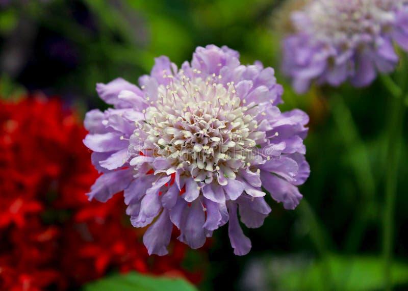 Μπλε pincushion πεταλούδων λουλούδια, columbaria Scabiosa στοκ φωτογραφίες