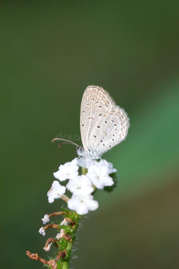 μπλε pygmy χλόης στοκ εικόνες