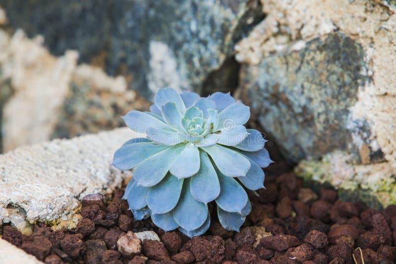 Μπλε succulent αυξήθηκε αυξανόμενος στο έδαφος σε έναν κήπο, στενό στοκ εικόνες με δικαίωμα ελεύθερης χρήσης