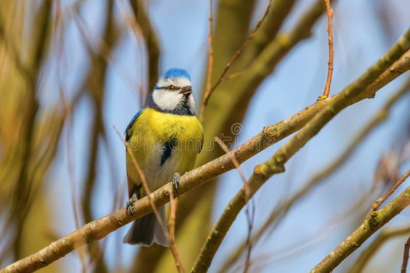Μπλε tit στον κλάδο, ευρασιατικό μπλε tit, caeruleus Cyanistes χαριτωμένο λίγο πουλί στοκ φωτογραφία