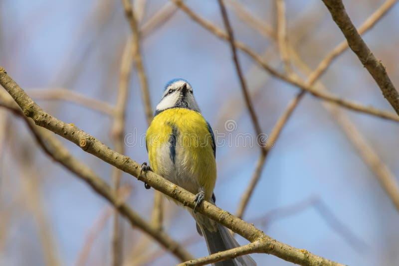 Μπλε tit στον κλάδο, ευρασιατικό μπλε tit, caeruleus Cyanistes χαριτωμένο λίγο πουλί στοκ εικόνες