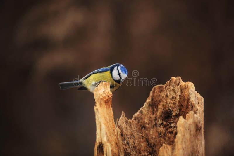 Μπλε tit στο κολόβωμα στοκ εικόνα με δικαίωμα ελεύθερης χρήσης