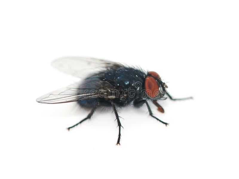 Μπλε vomitoria Calliphora blowfly στο λευκό στοκ εικόνα
