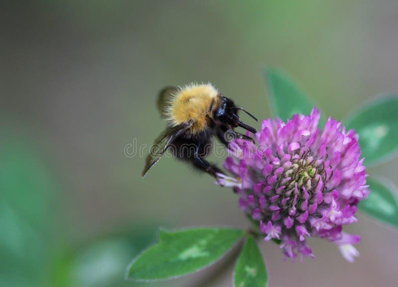 Μπομπομπούς Pascuorum bumblebee, ο κοινός αγριομελισσός στο λουλούδι στοκ εικόνα