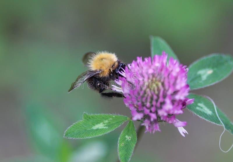 Μπομπομπούς Pascuorum bumblebee, ο κοινός αγριομελισσός στο λουλούδι στοκ εικόνες με δικαίωμα ελεύθερης χρήσης