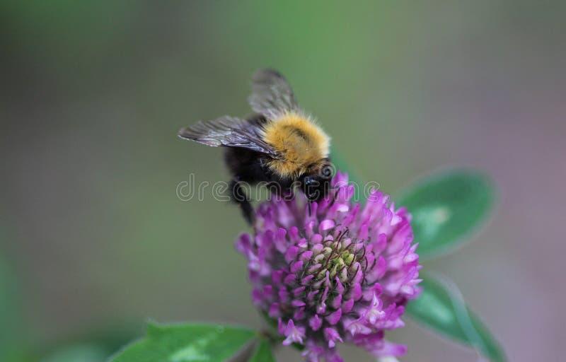 Μπομπομπούς Pascuorum bumblebee, ο κοινός αγριομελισσός στο λουλούδι στοκ εικόνες
