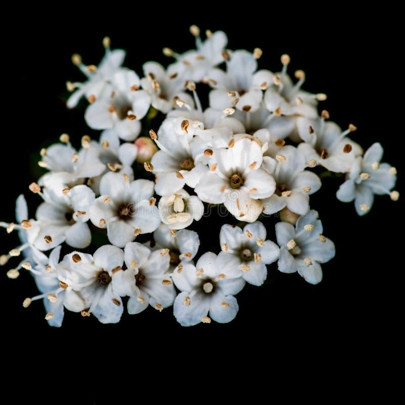 Μπουκέτο λουλουδιών του Μπους Viburnum στοκ εικόνες