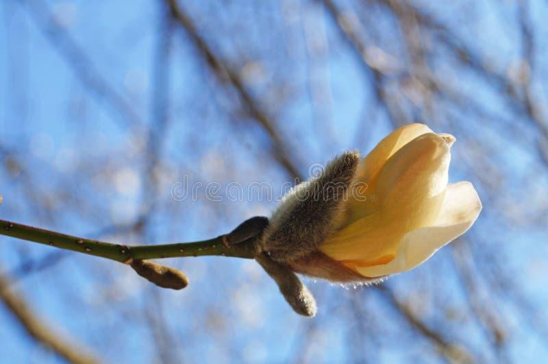 Μπουμπούκια και λουλούδια με λευκά πέταλα σε κλαδιά δέντρου στοκ φωτογραφίες