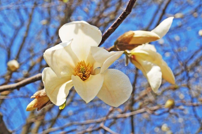 Μπουμπούκια και λουλούδια με λευκά πέταλα σε κλαδιά δέντρου στοκ φωτογραφία με δικαίωμα ελεύθερης χρήσης