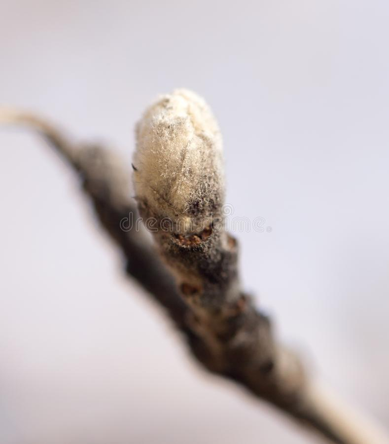 Μπουμπούκι στον κλάδο δέντρων μηλιάς στοκ φωτογραφίες