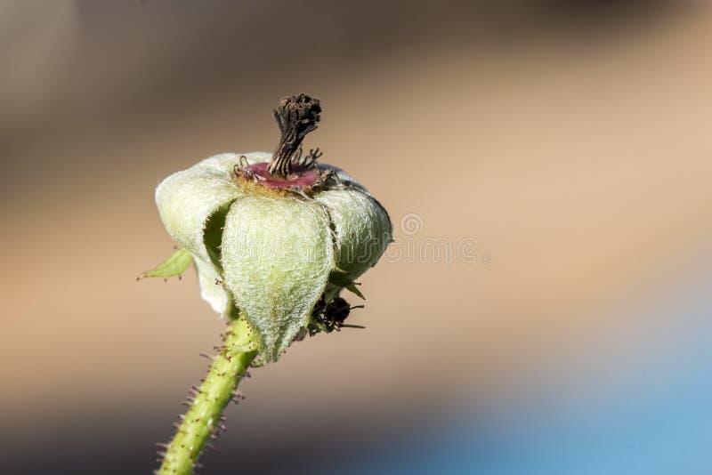 Μπουμπούκι τριαντάφυλλου χωρίς ακραίο στενό επάνω πετάλων στοκ εικόνες
