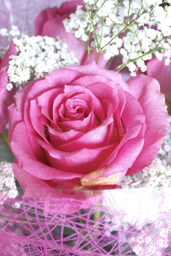 μπουμπούκι τριαντάφυλλο στοκ εικόνες