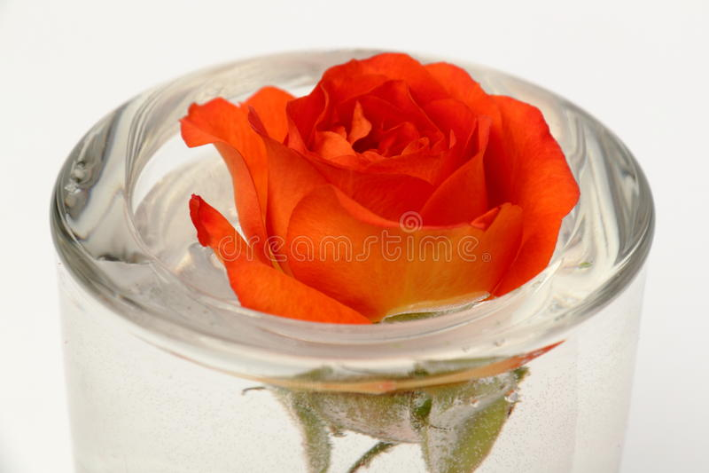 Μπουμπούκι τριαντάφυλλου με το νερό στοκ φωτογραφία με δικαίωμα ελεύθερης χρήσης