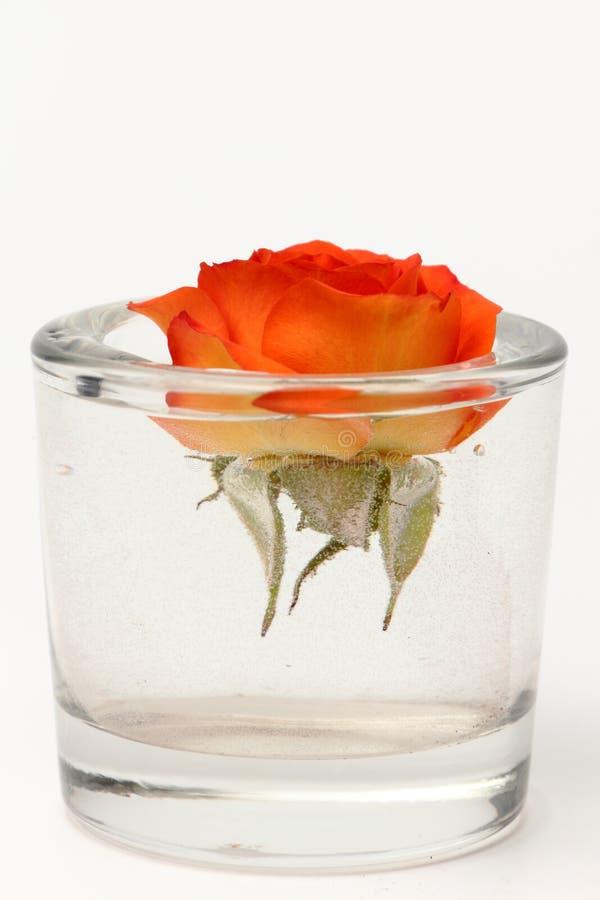 Μπουμπούκι τριαντάφυλλου με το νερό στοκ φωτογραφία
