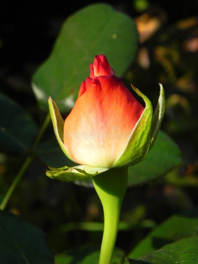 Μπουμπούκι τριαντάφυλλου στον κήπο λουλουδιών στοκ φωτογραφία με δικαίωμα ελεύθερης χρήσης