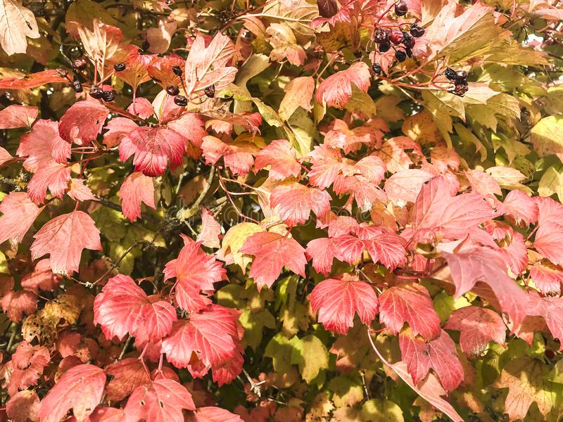 Μπους με τα κόκκινα φύλλα φθινοπώρου στοκ φωτογραφίες με δικαίωμα ελεύθερης χρήσης