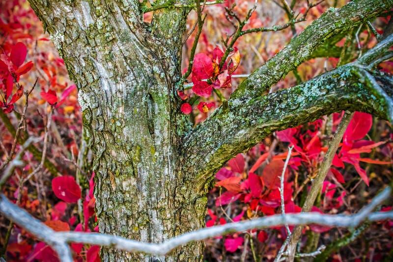 Μπους με τα κόκκινους φύλλα φθινοπώρου και το φλοιό αντίθεσης, υπόβαθρο φύσης στοκ φωτογραφία
