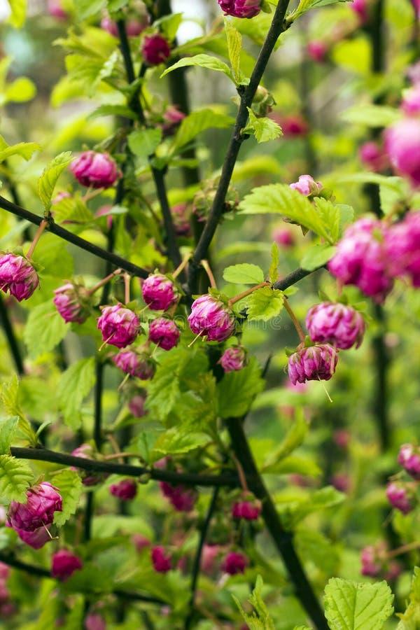 Μπους με το ρόδινο triloba Prunus λουλουδιών, triloba Louiseania στοκ εικόνα με δικαίωμα ελεύθερης χρήσης