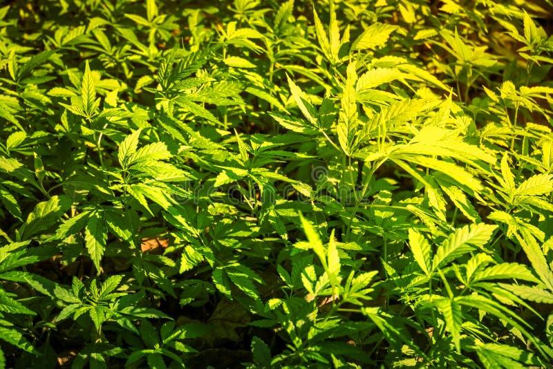 Μπους που ανθίζει την κάνναβη χορταριών με τους σπόρους και τα λουλούδια στοκ εικόνες