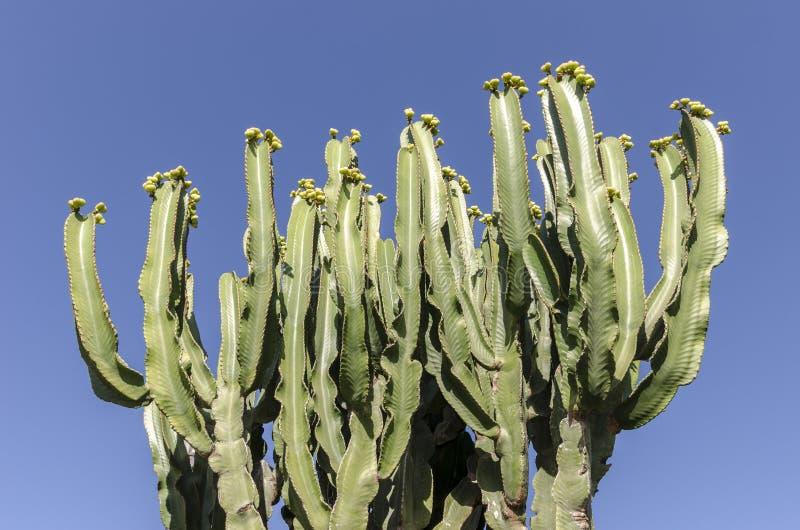 Μπους του κάκτου Pachycereus σε Fuerteventura, Κανάρια νησιά, SPA στοκ εικόνες