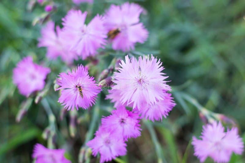 Μπους του ρόδινου γαρίφαλου σε έναν κήπο με τα έντομα στοκ εικόνες με δικαίωμα ελεύθερης χρήσης